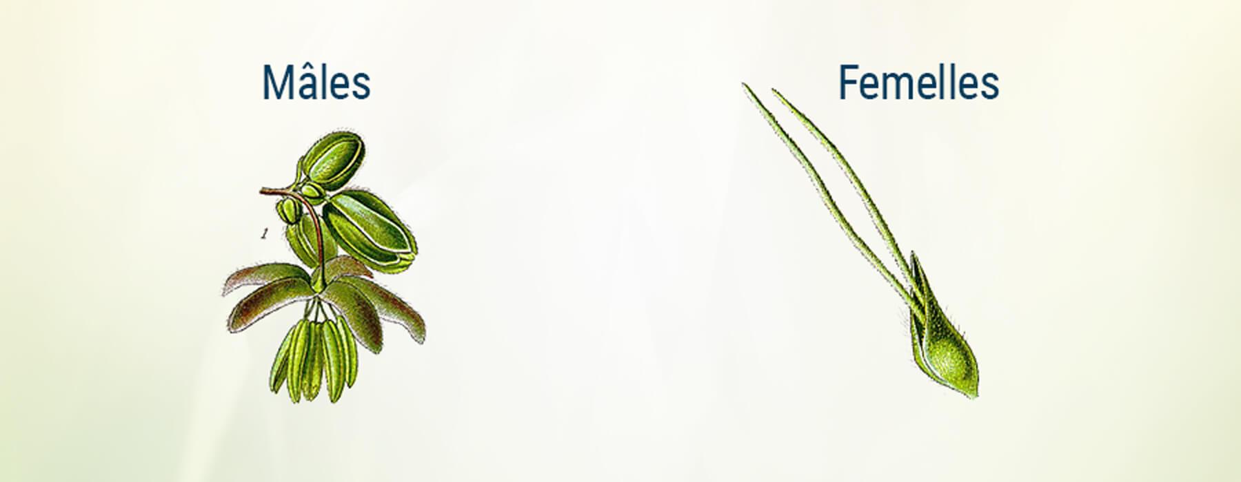 Plante Cannabis Homme Femme Bractée