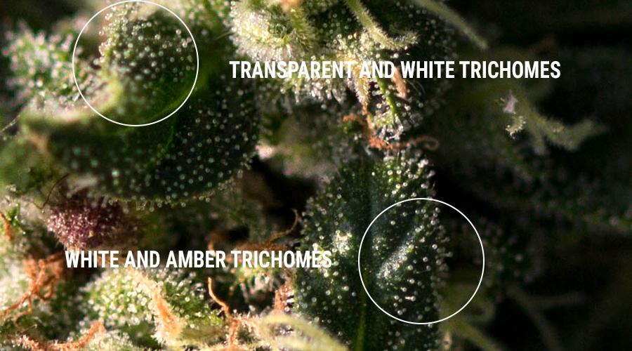 Trichomes concentrés de résine de haschisch