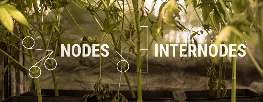 Nœuds Internodes Cannabis Plant Structure