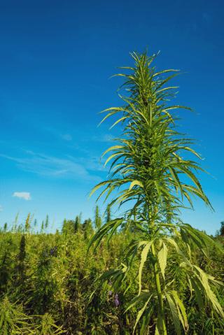 agriculture Permaculture cannabis intégration naturelle compagnonnage