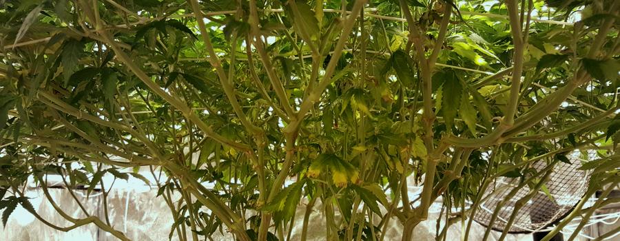 Scrog méthode Og Kush croissance du cannabis