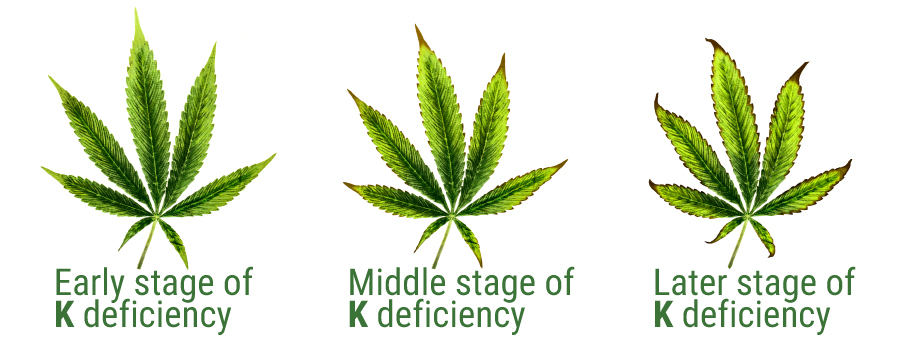 Potassium Deficiency in Cannabis Leaves