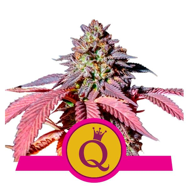 Acheter Purple Queen