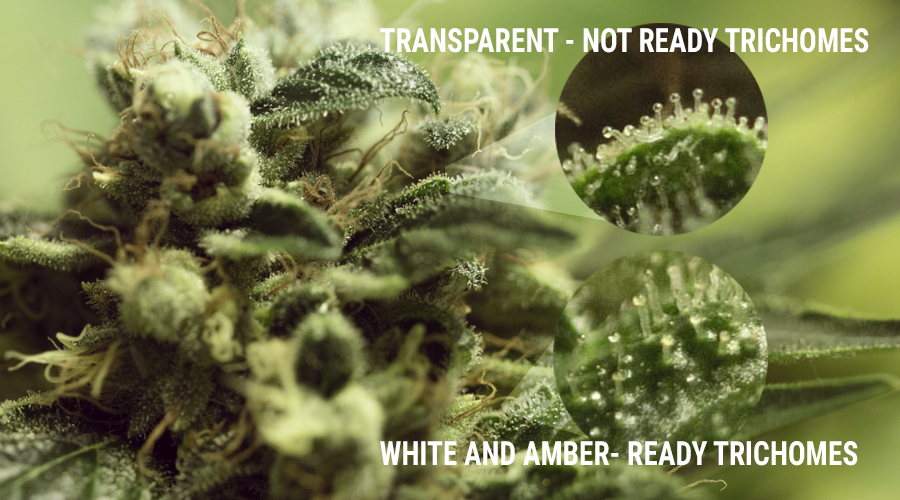 Trichomes champignons de culture marijuana lumière UV calice bourgeon cannabis