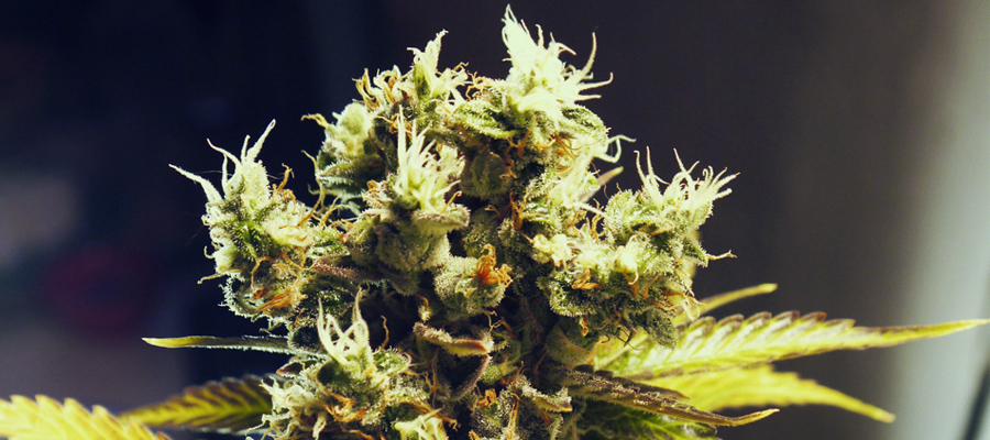 royal kush automatic strain royal queen seeds