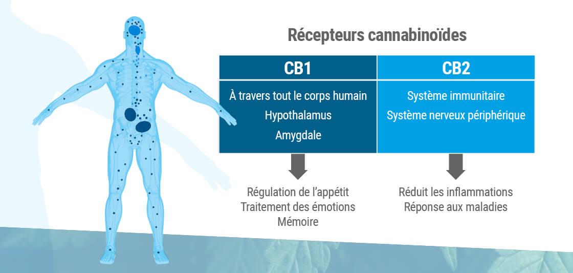 Récepteurs cannabinoïdes : où ils sont et ce qu'ils font