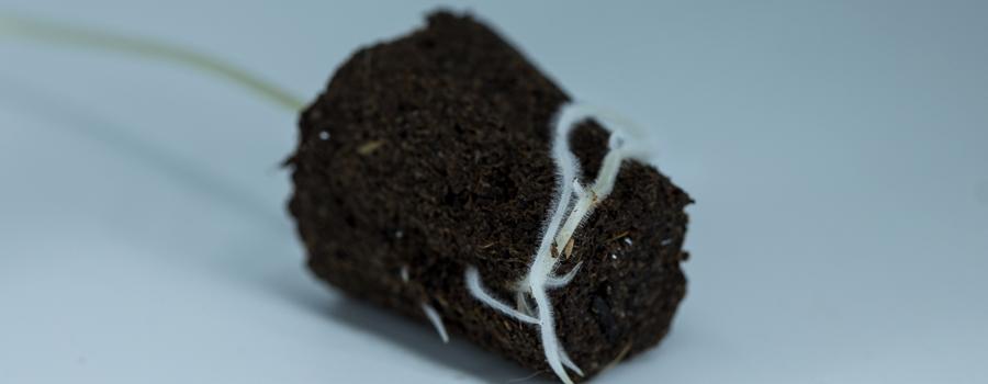 Les nutriments des racines respirent la plante de cannabis