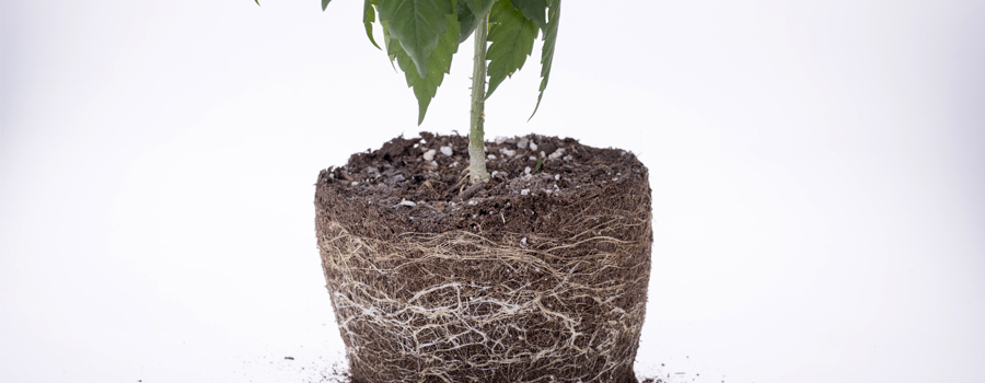 Racines, cannabis, nutriments, alimentation, drainage, oxygène, plantes