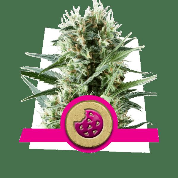 Royal Cookies niveaux de dopamine créativité cannabis souches stimuler augmentation lobe frontal corrélativité étude divergent pensée nouveauté-recherche