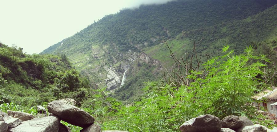 Ruderalis cannabis souche montagne