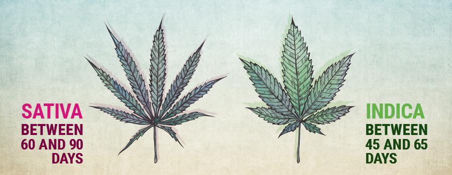 Croissance végétative sativa et indica