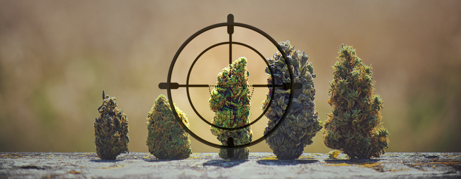 ADN hunter cannabis landrace Inde Pakistan Kush Afghanistan Afrique Jamaïque