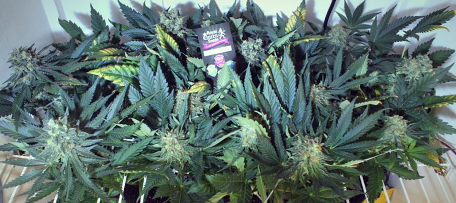 Top 5 vari t s de cannabis pour la culture en ext rieur for Weed plantation exterieur