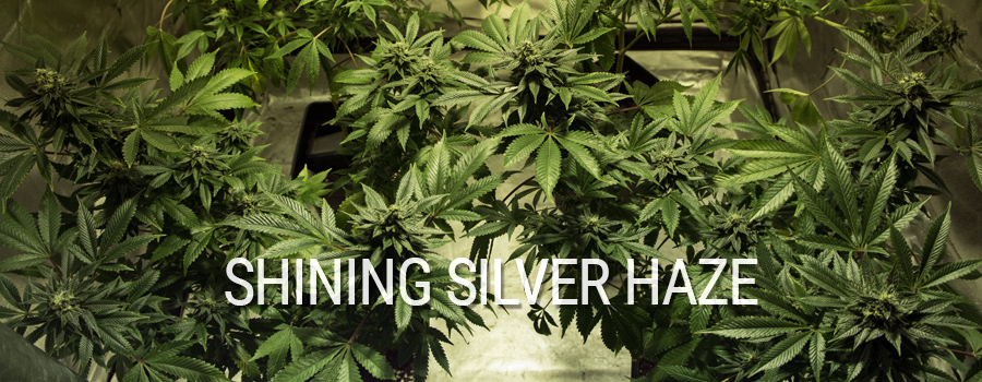 Shining Silver Haze Royal Queen Seeds