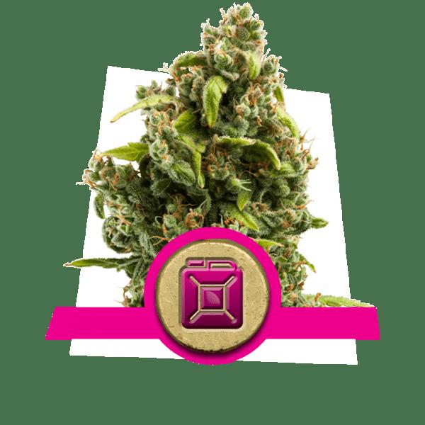 Sour Diesel niveaux de dopamine créativité souches de cannabis augmentation augmentation lobe frontal corrélativité études étude divergente recherche de nouveauté
