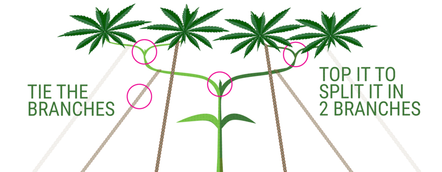 main-lining Technique culture de cannabis