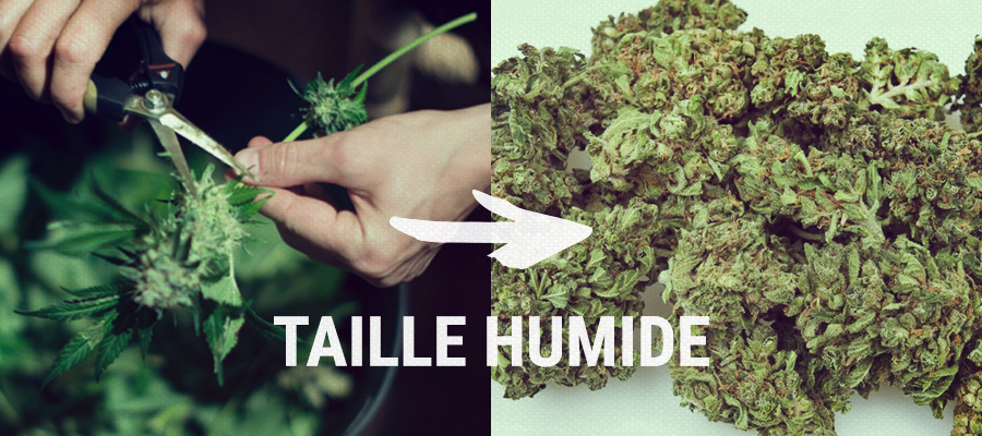 taille humide cannabis