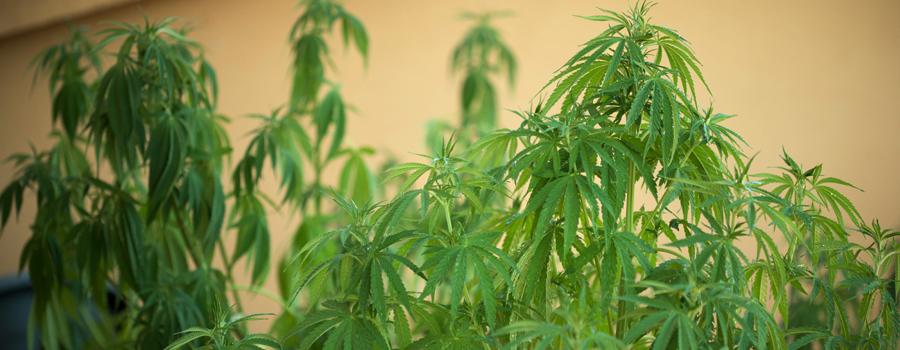 Problèmes d'irrigation du cannabis