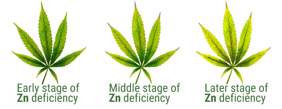 Zinc deficiency cannabis leaves