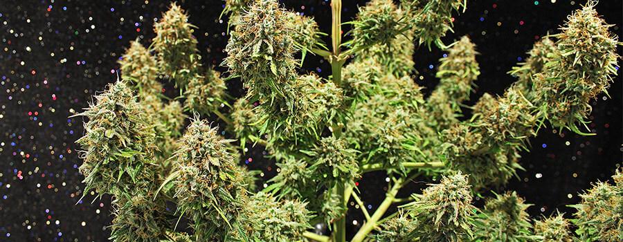Amnesia Haze Cannabis Pour Climats Chauds