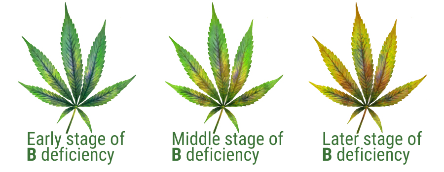 Boron deficiency leaves cannabis plant