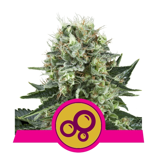 Bubble Kush Feminized