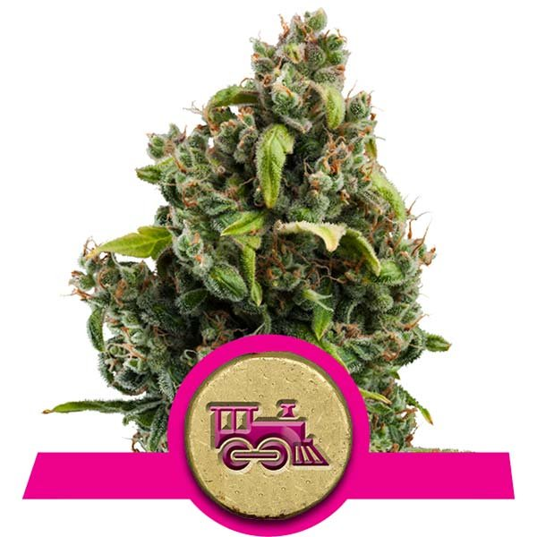 Candy Kush Express Royal Queen Seeds