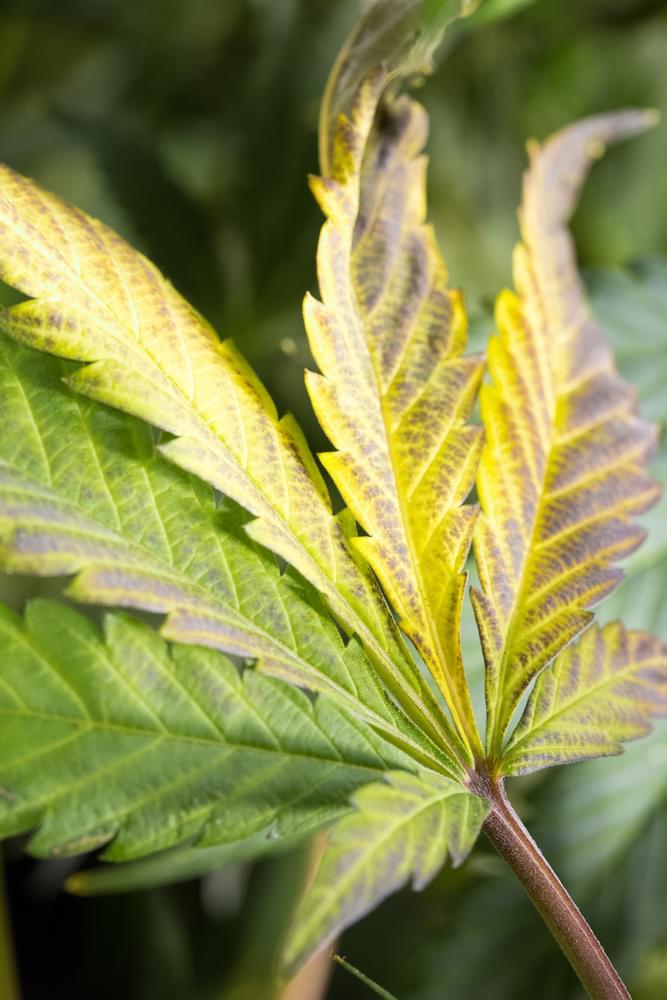 cannabis feuille nutriments se nourrissent des racines arrosage excessif