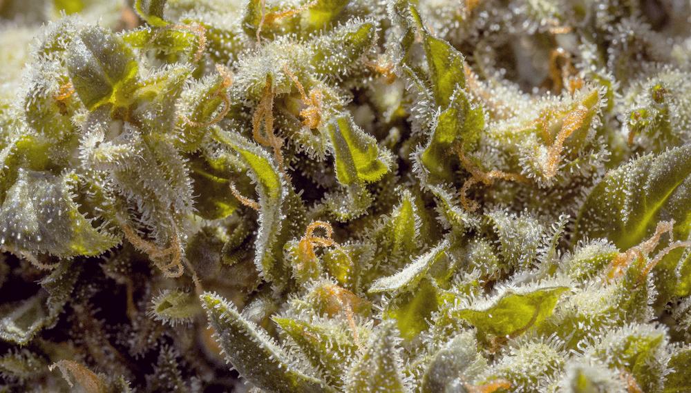 Des réactions d'hypersensibilité de résine de cannabis de pollen d'huile allergique cutanée sensibilité post nasal goutte à goutte les yeux rouges qui démangent sinus enflés