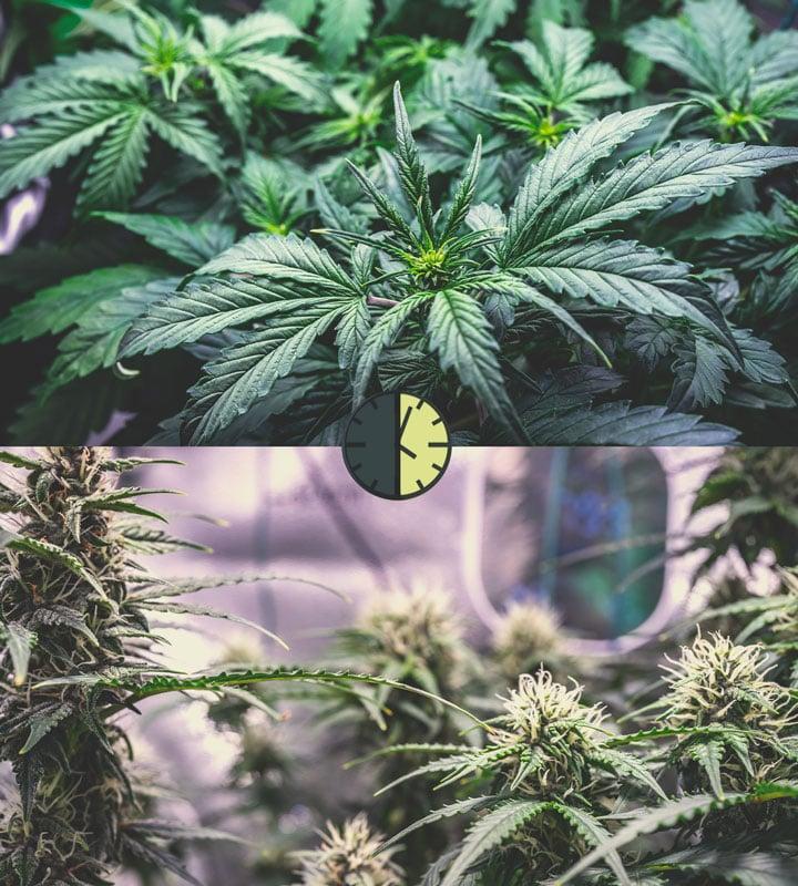 Avantages Et Inconvénients Des Variétés De Cannabis À Autofloraison