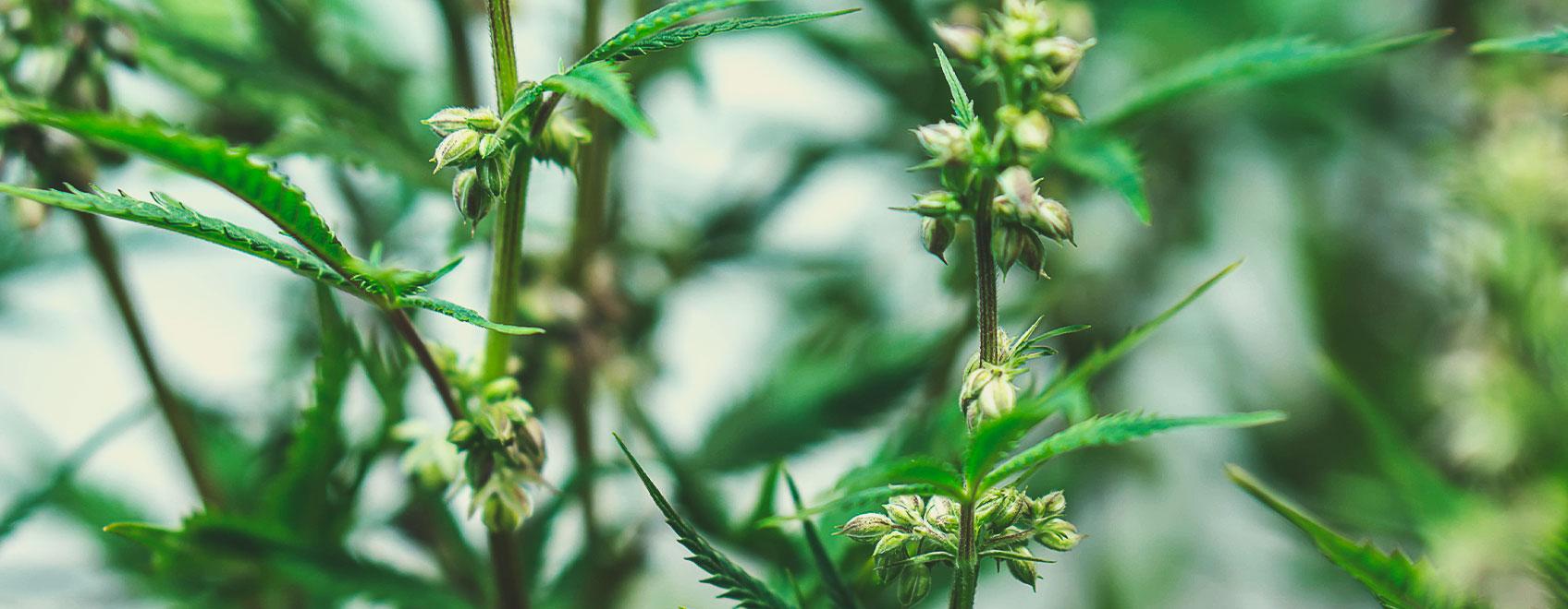Comment les graines de cannabis médical sont sélectionnées