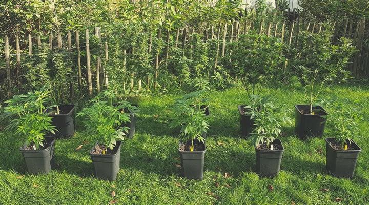 Understanding Cannabis Genetics Terminology