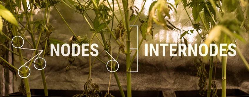 Nœuds Internodes Cannabis Plant Structure