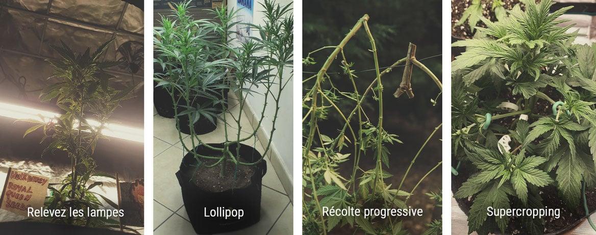 Comment contrôler la hauteur en phase de floraison