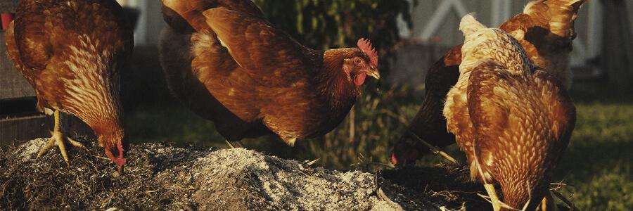 Compost biologique de poulet