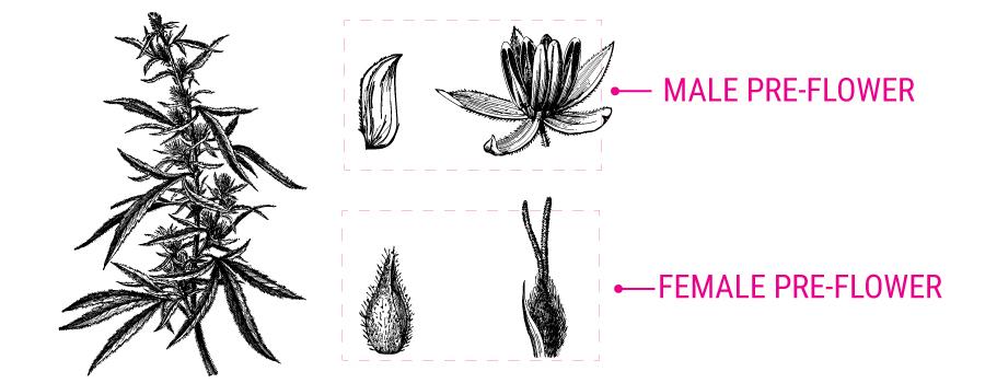 Illustration de pré-fleur de cannabis
