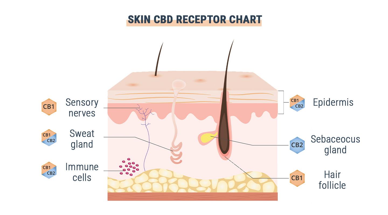 GPR55 : Le troisième récepteur cannabinoïde?