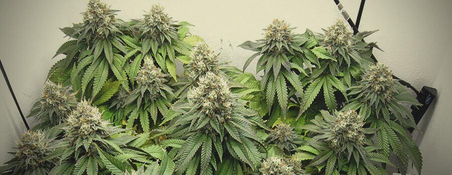 Euphoria CBD souches de Marijuana