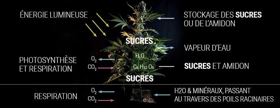 Comment une plante de cannabis produit du sucre
