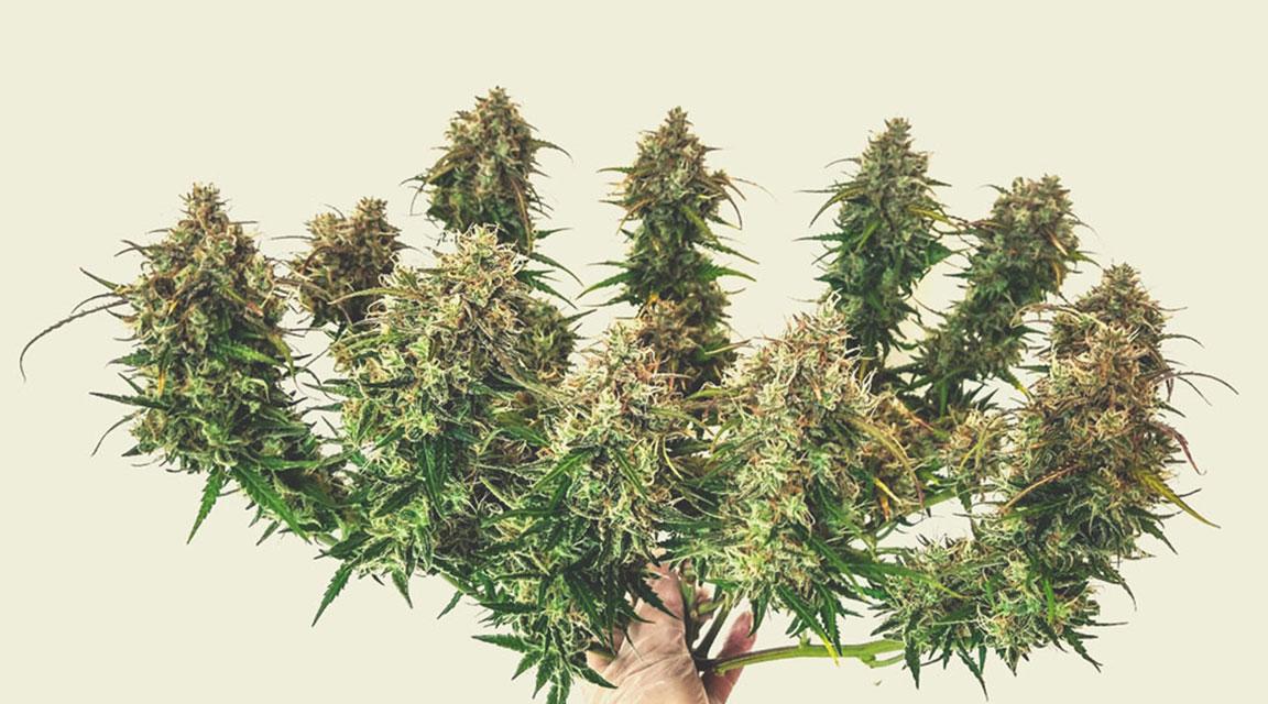 Estimer les rendements des plantes à autofloraison
