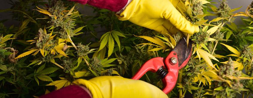 Coupe de cannabis