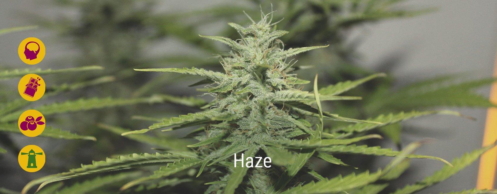 Les meilleures variétés de Haze