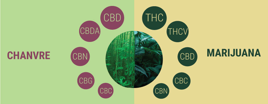 Chanvre vs marijuana