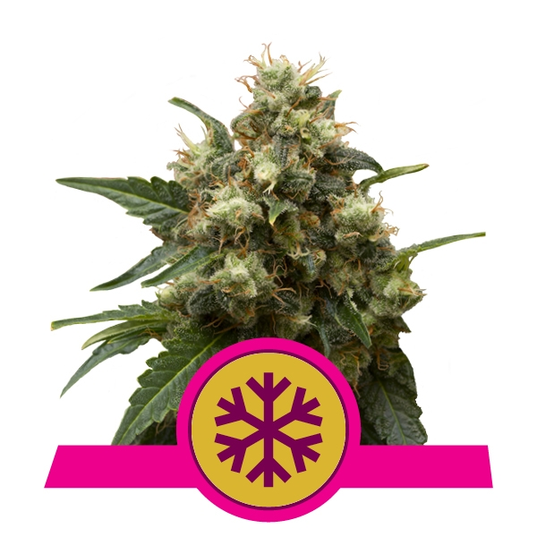 Feminized ICE Cannabis