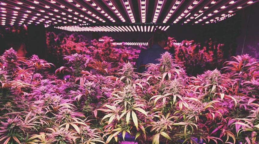 Le boom du cannabis d'intérieur