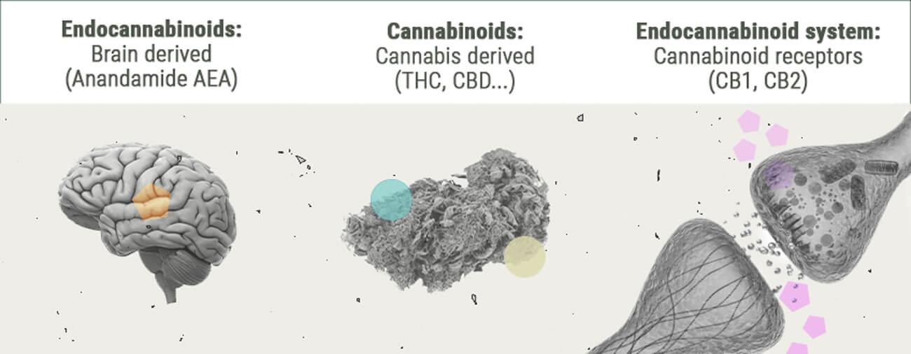 La Chimie Des Effets Du Cannabis