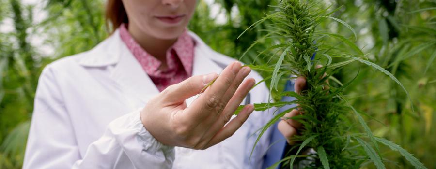 cannabis medicaux