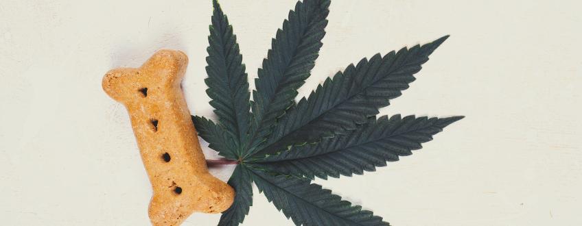 Cannabis Et Chiens : Les Effets Du CBD Sur Les Chiens