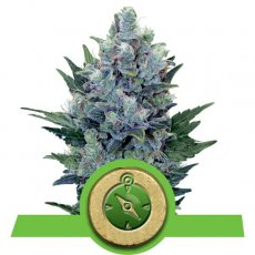 Northern Light Auto Royal Queen Seeds Autofloraison Variété