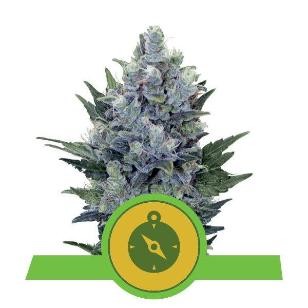 Northern Light Automatic Royal Queen Seeds